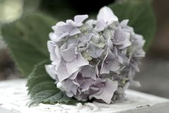 Vintage hydrangea. Pale lavender or purple hydrangea blossom in vintage, pastel colors stock photography