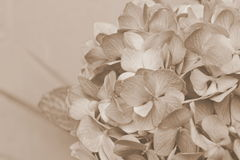 Vintage Hydrangea Close Up Stock Images