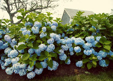 Vintage Hydrangea Flowers Royalty Free Stock Photography