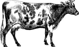 Vintage Illustration cow farm Stock Photo
