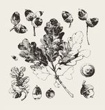 Hand drawn acorns and oak branch Stock Images