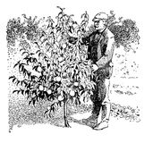 Vintage illustration, man take care of a young peach tree in the Royalty Free Stock Photography