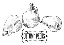 Vintage illustration of pear Royalty Free Stock Images