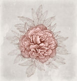 Vintage illustration of peony flower Royalty Free Stock Photo