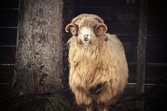 Vintage image of a big ram Royalty Free Stock Images