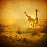 Vintage image of giraffes in amboseli park, kenya Stock Images