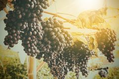 Vintage image of grape Stock Images