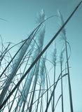 Vintage image, low angle pampas grass Royalty Free Stock Photography