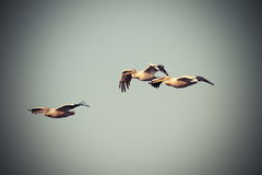 Vintage image with three pelicans in flight Royalty Free Stock Images