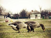 Vintage image of a village scene with geese Stock Photo
