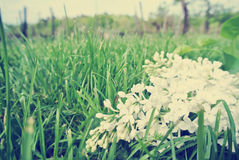Vintage image of white lilac flowers on the green grass, low angle view Stock Photo