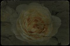 Vintage image of white roses blossom royalty free stock photography