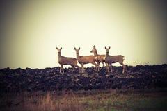 Vintage image of wild roe deers Royalty Free Stock Images