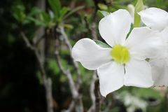 Vintage impala lily flower Stock Photography