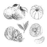 Vintage Ink hand drawn collection of citrus fruits sketch - lemon, tangerine, orange Royalty Free Stock Image