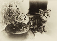 Vintage Kitten Royalty Free Stock Photos