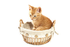 Vintage kitten Royalty Free Stock Photography