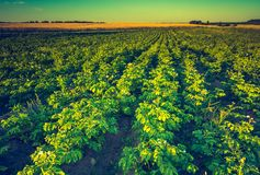 Vintage landscape of potato field in sunset light Royalty Free Stock Image