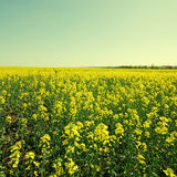 Vintage landscape with rapeseed field Royalty Free Stock Image