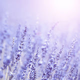 Vintage lavender flower background Stock Photos