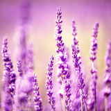Vintage lavender flower Royalty Free Stock Image