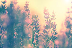 Vintage lavender sunset Royalty Free Stock Photos