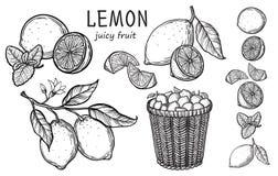 Vintage lemon tree sketch. Vector hand drawn illustration stock illustration