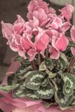 Vintage look of blossoming soft pink cyclamen Royalty Free Stock Photos