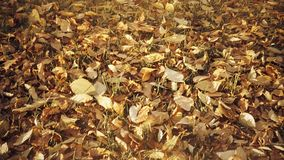 Vintage look colorful autumn leaves in Slow Motion stock video