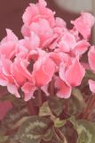 Vintage look image of blossoming cyclamen plant Stock Image