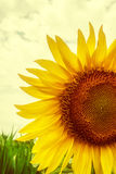 Vintage look at one sunflower Stock Photos
