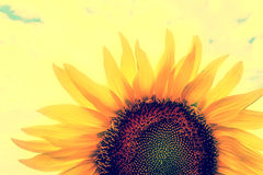 Vintage look at one sunflower Stock Images