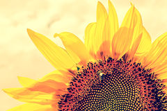 Vintage look at one sunflower Stock Photo