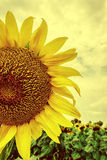 Vintage look at one sunflower 3 Stock Photos