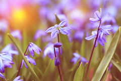 Vintage look photo of blue spring flowers Royalty Free Stock Image