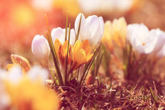 Vintage look photo of spring flowers crocuses. Ontario, Canada Royalty Free Stock Images