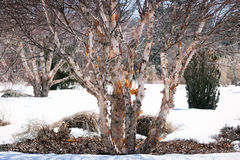 Vintage look river birch tree in winter with peeling bark stock photo