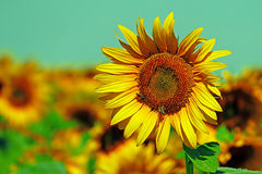 Vintage look at sunflower Royalty Free Stock Photography