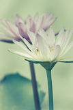 Vintage of lotus flowers Stock Photo