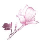Vintage Magnolia Flower Stock Image