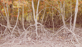 Vintage mangrove forest in phuket, Thailand Stock Photography