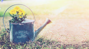 Vintage metal watering can with yellow garden flowers on sunny outdoor nature background with grass. Royalty Free Stock Photography