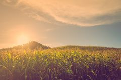 Sunset corn hill Stock Images