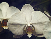 Vintage orchid Royalty Free Stock Image