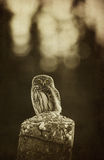 Vintage owl. Small owl spooky vintage vertical background Royalty Free Stock Photo