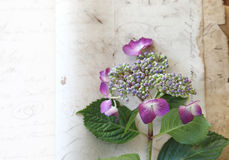 Vintage paper with fresh hydrangea Stock Image
