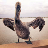Vintage Pelican. A pelican spreads its winds on the pier in St. Petersburg, Florida Stock Image