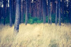 Vintage photo of autumnal pine forest Royalty Free Stock Photography