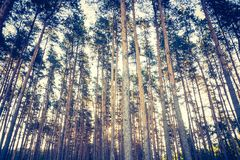 Vintage photo of autumnal pine forest Stock Image