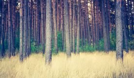 Vintage photo of autumnal pine forest Stock Photo